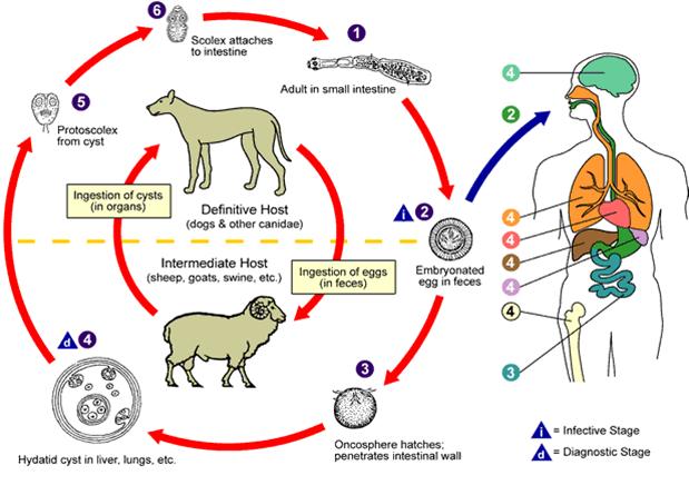 Cykl życiowy Echinococcus granulosus