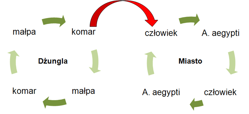 Schemat transmisji wirusa dengi