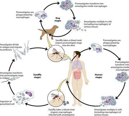 Schemat zakażenia Leiszmanioza
